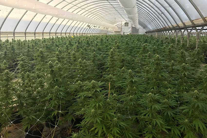 Cannabis Hemp Plants Green House