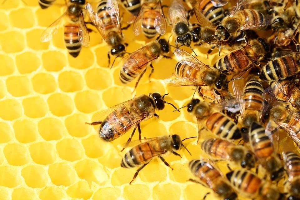honey-bees-cannabis-cbd-thc