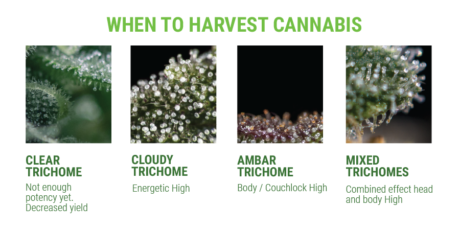 trichome when to harvest