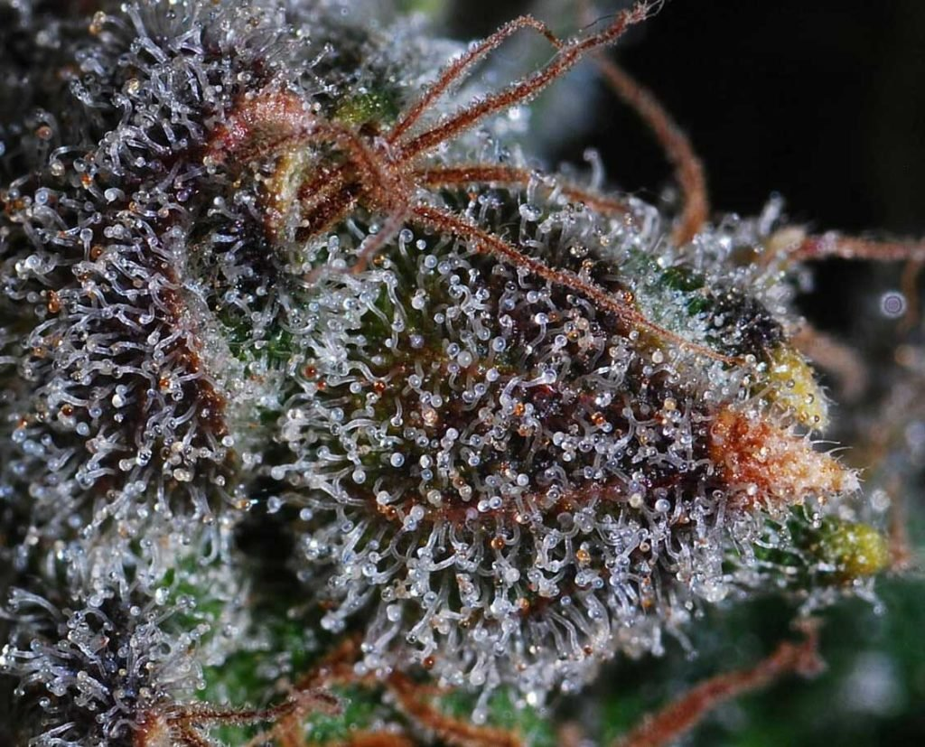 trichomes close up